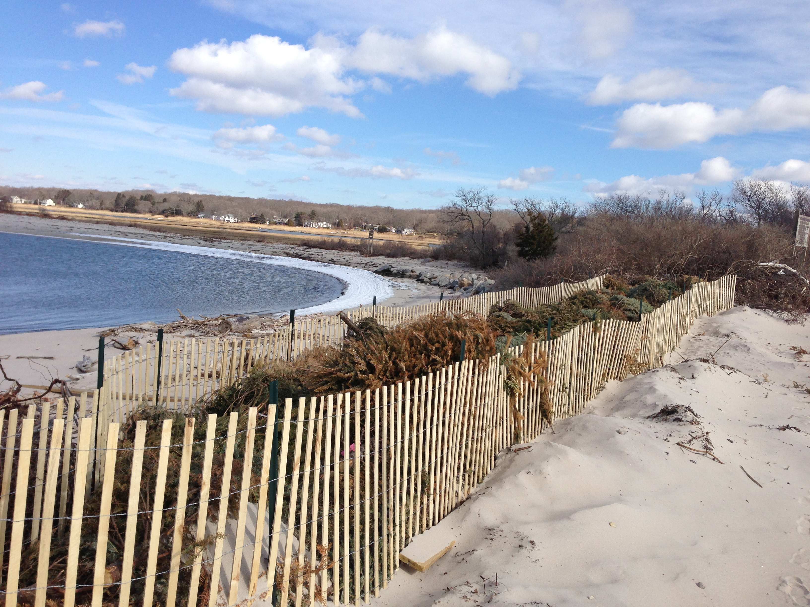 Use of Christmas trees on dune at Old Black Point Beach.