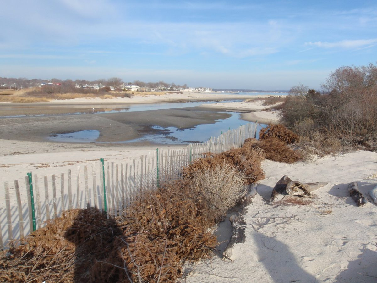 Christmas trees should be fastened together, staked down, or otherwise secured. Like dune fencing, major storms can easily move these trees, scrubbing away sand and dune plants.