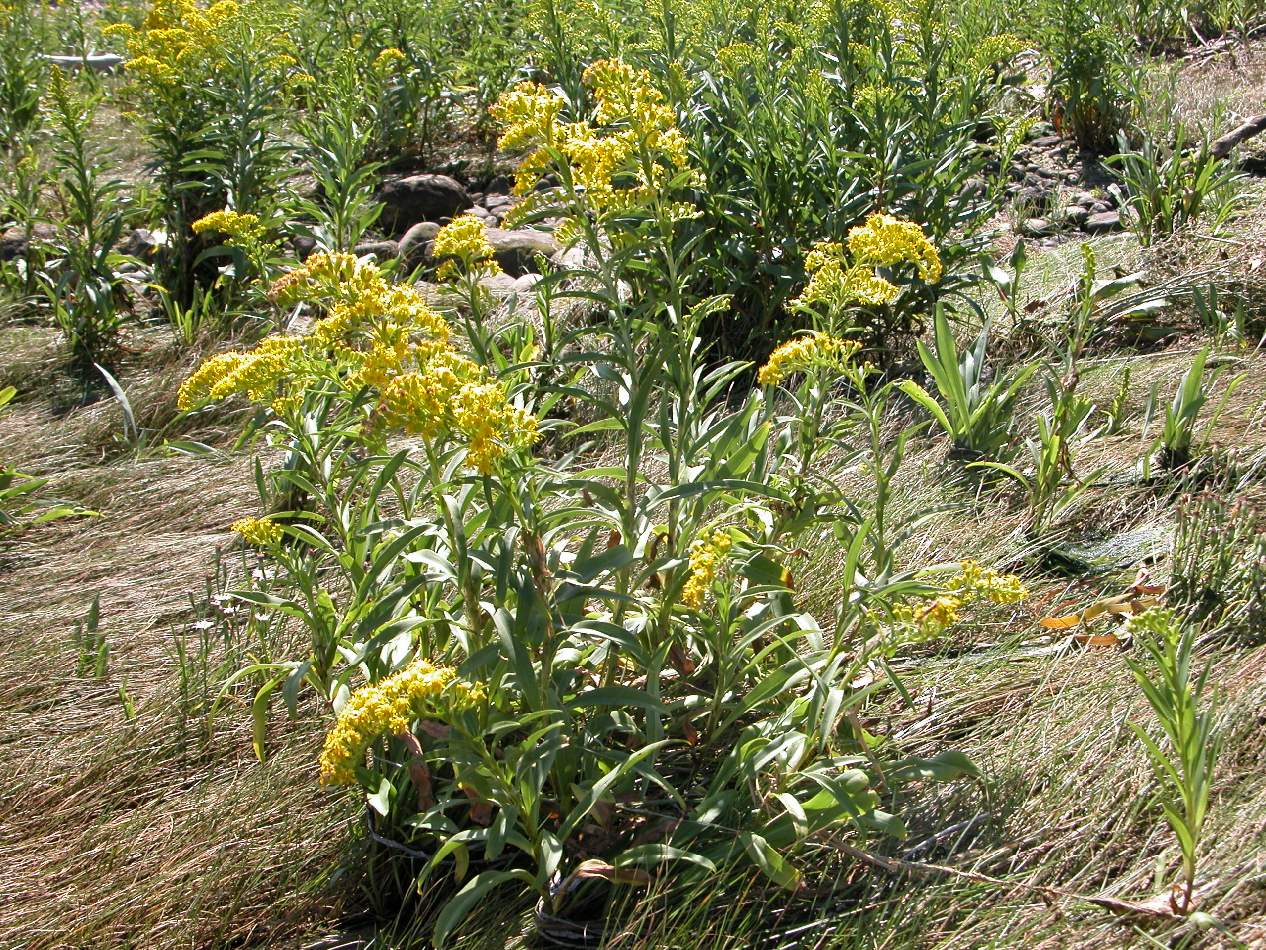 Seaside goldenrod, showing yellow flower cluster atop narrow green leaves.