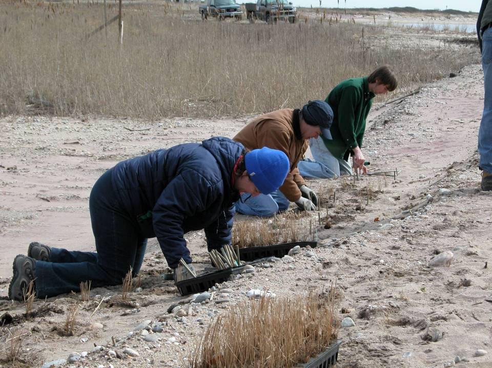 Planting beach grass in Fenwixk.